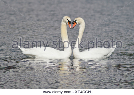 Mute Swan (Cygnus olor) swimming in a pond near Victoria, BC, Canada. - Stock Photo
