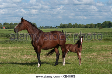 Bay mare with a foal on a pasture, East Frisia, Lower Saxony - Stock Photo