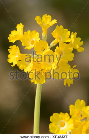 Mountain Cowslip (Primula auricula), blossoms, Germany - Stock Photo