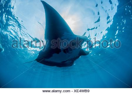 Underwater view of silhouetted giant manta sunbathing, Isla Mujeres, Quintana Roo, Mexico - Stock Photo