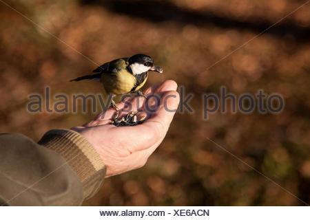 Titmouse bird feeding from a man's hand, sofia, bulgaria - Stock Photo