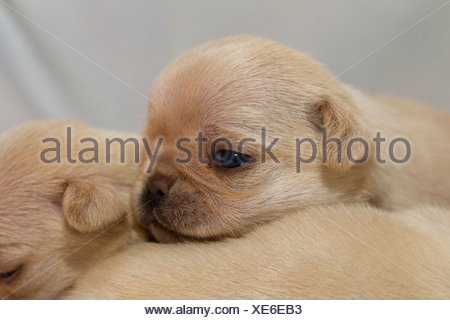 Two pug dog puppies, close-up - Stock Photo