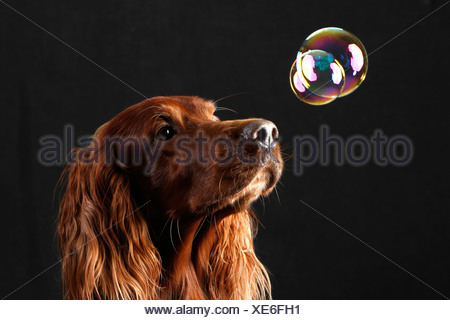 Irish Setter. Portrait of adult male watching a floating soap bubble. Studio picture against a white background, Irish Red Sette - Stock Photo