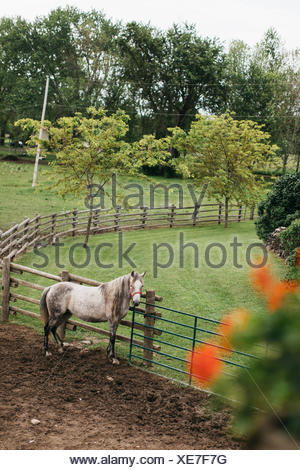 High angle portrait of dapple grey horse tied to paddock fence - Stock Photo
