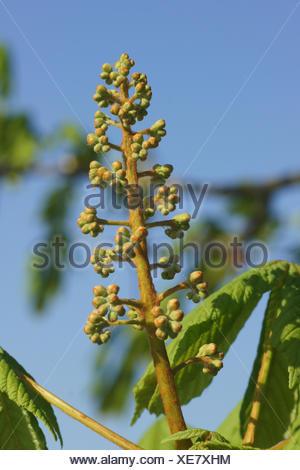 Aesculus hippocastanum, Horse chestnut, buds - Stock Photo