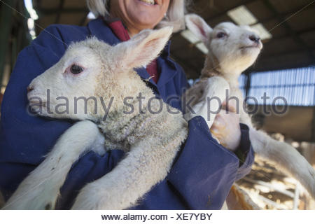 Woman holding two lambs in her arms. New spring lambs in the lambing shed. - Stock Photo