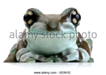 Amazonian canopy frog (Phrynohyas resinifictrix), portrait - Stock Photo