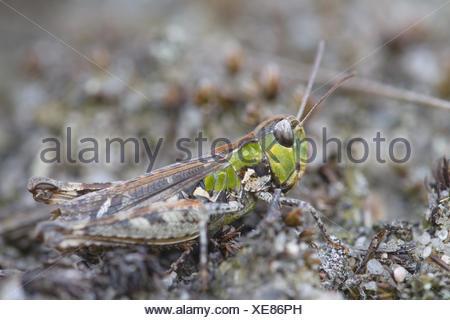 Grashopper (Myrmeleotettix maculatus), male - Stock Photo