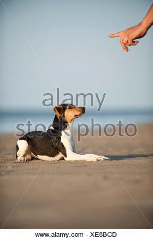 Dansk-Svensk Gardshund or Danish–Swedish Farmdog lying on command - Stock Photo