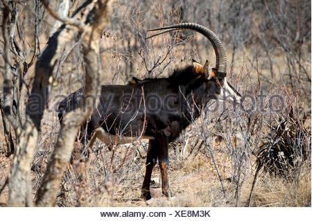 Sable Antelope (Hippotragus niger), Ant's Hill Reserve, near Vaalwater, Limpopo province, South Africa. - Stock Photo