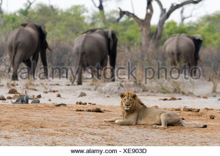 A male lion, Panthera leo, lying down and three African elephants, Loxodonta africana, in the background. - Stock Photo