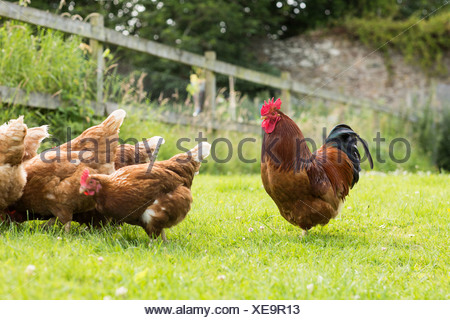 Chickens on a lawn with a cockerel - Stock Photo