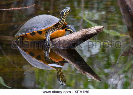 Rotbauch Schmuckschildkroete, Pseudemys nelsoni, red bellied Turtle - Stock Photo