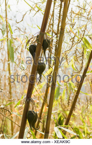 Bamboo, Bambusa cultivar, Rare bamboo fruit hanging from stems, usually flowers every 50 years. - Stock Photo