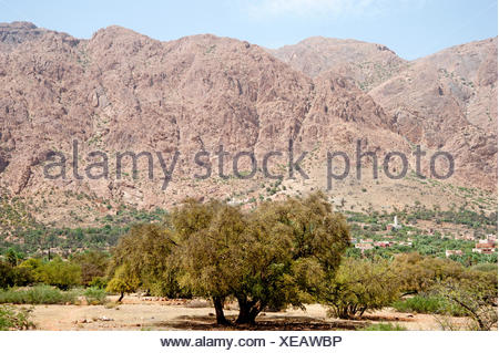 Argan trees (Argania spinosa) in the Anti-Atlas Mountains, Morocco, North Africa, Africa - Stock Photo