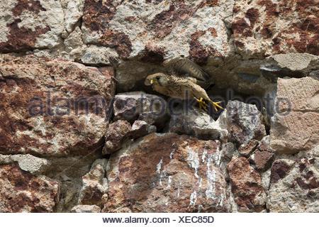 common kestrel - Stock Photo