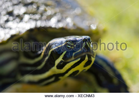 Close-up of a Florida Redbelly turtle (Pseudemys nelsoni), Florida, USA - Stock Photo