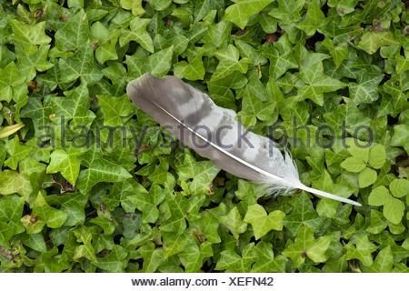 Bird Feather on woodland floor UK - Stock Photo