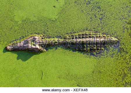 young alligator in Thailand wetland pond with duckweed and copy space - Stock Photo