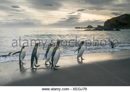 King penguins walk along the shoreline at sunrise at Gold Harbour. - Stock Photo