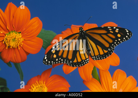 Female Monarch butterfly on orange Tithonia flowers with wings wide open - Stock Photo