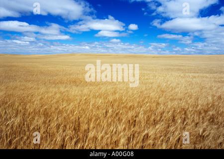 Golden wheat awaits harvest under cloud filled sky Watford City North Dakota - Stock Photo