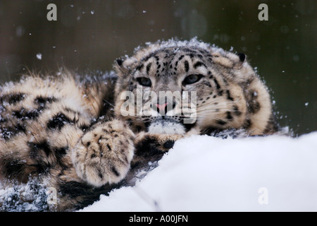 Snow Leopard or Irbis Uncia uncia resting on snowy rock at snowfall - Stock Photo