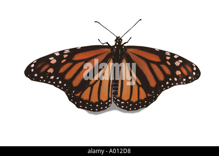 Female Monarch butterfly, Danaus plexippus, with wings outstreatched on white background Missouri USA - Stock Photo
