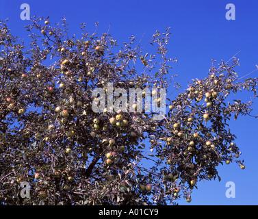 Apfelbaum mit reifen Aepfeln - Stock Photo