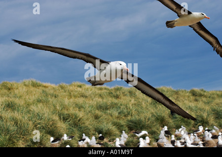Black Browed Albatross Diomedea melanophris Adult flying over large colony Steeple Jason Island Falklands - Stock Photo