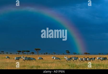 Burchells zebra Equus burchelli Migration on the plains of the Mara Maasai Mara Game Reserve with rainbow and stormy - Stock Photo