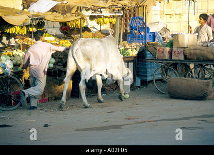 Stop Thief! Street scene in Jaiselmer city market, Rajasthan India. A cow has just stolen a cabbage from a market - Stock Photo