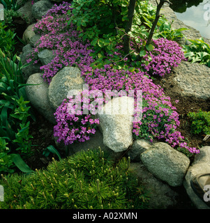 Close up of clumps of pink aubrieta growing over rounded boulders - Stock Photo