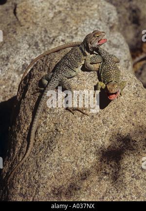 two collared lizards - on stone / Crotaphytus collaris - Stock Photo