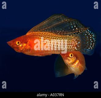 Yucatan Molly (Poecilia velifera). Two individuals in an aquarium - Stock Photo