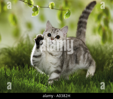 British Shorthair cat - playing with twig - Stock Photo