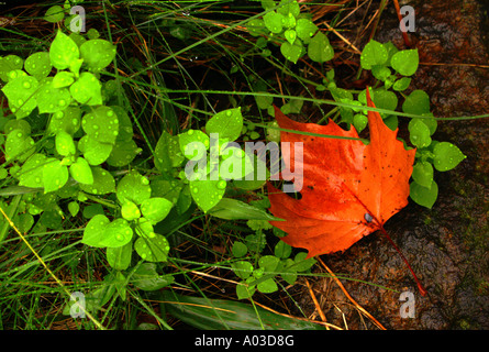 Rain-covered leaves, both green and orange, laying atop craggy rock, in the autumn or fall. - Stock Photo