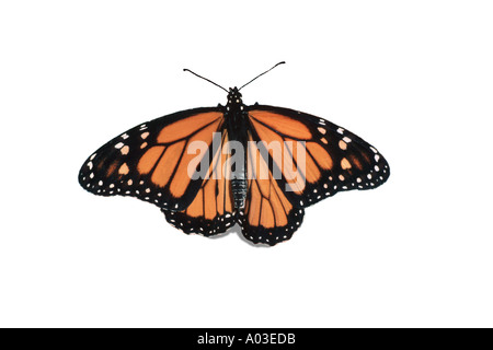 Male Monarch butterfly, Danaus plexippus, with wings outstreched on  white background, Missouri USA - Stock Photo