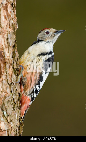 Middle-spotted Woodpecker (Dendrocopos medius, Picoides medius) - Stock Photo