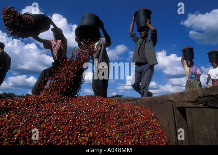 Africa Kenya Ruira Coffee pickers empty buckets of Arabica coffee beans harvested at Oakland Estates coffee plantation - Stock Photo