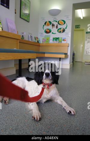 Vet clinic surgery a Springer Spaniel dog waits - Stock Photo