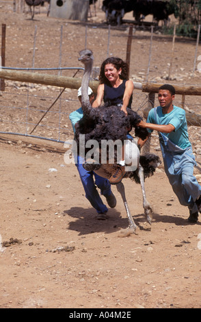 Tourist riding Ostrich on farm in Oudtshoorn Little Karoo western cape South Africa RSA - Stock Photo