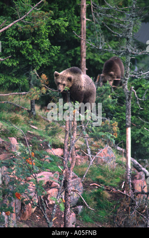 Bears climbing trees. Grönklitt Bear Park, Orsa, Dalarna, Sweden. - Stock Photo