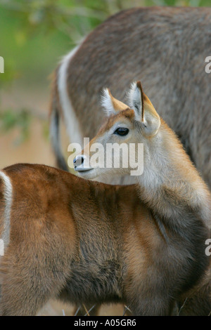 Baby Common Waterbuck, Kruger Park, South Africa. Kobus ellipsiprymnus - Stock Photo