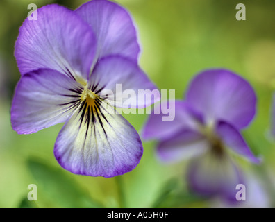 PURPLE VIOLETS Viola Magnifico Selectively focused on the foreground flower - Stock Photo