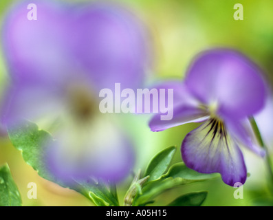 PURPLE VIOLETS Viola Magnifico Selectively focused on the background flower - Stock Photo
