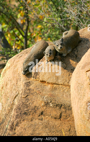 common rock hyrax rock dassie Procavia capensis, South Africa, Kruger National Park - Stock Photo