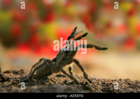 Horned Baboon Spider, South Africa - Stock Photo