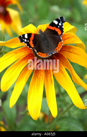 A butterfly rests on the anther of a yellow petaled flower Admiral - Stock Photo