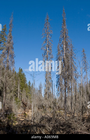 Flooded water from a beaver dammed creek has caused major forest damage and killed all spruces  ( picea abies ) - Stock Photo